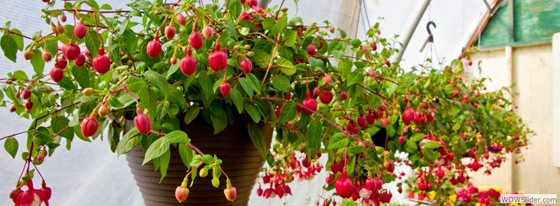 HANGING BASKETS FOR SUN OR SHADE